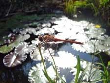 libelle-teich