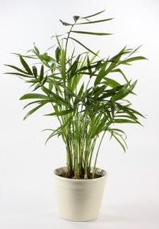 palmenarten und die richtige palmen pflege ratgeber. Black Bedroom Furniture Sets. Home Design Ideas
