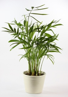 palmen-bergpalme
