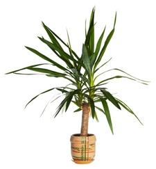 palmlilie-yucca
