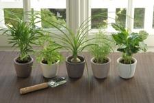 pflanzenlexikon-zimmerpflanzen