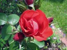 rose-beet