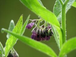 Nahrung für Wildbienen im April u. a. Beinwell