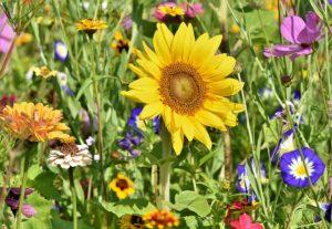 Anlage einer Blumenwiese
