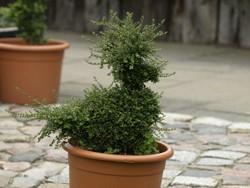 Giftiger Buchsbaum im Garten kann für den Hund gefährlich werden.