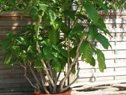 Beliebt, aber giftig: die Engelstrompete - auch für den Hund eine Gefahr im Garten.
