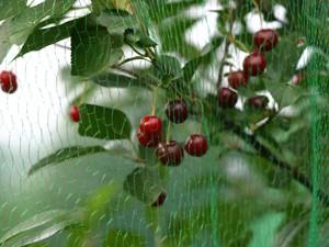 Mit Netzen Kirschenbäume vor Vogelfraß schützen.