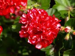 Giftige Pflanzen im Garten für Hunde: Geranien