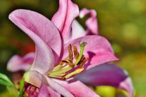 Giftige Pflanzen im Garten: Lilien sind für Hunde giftig