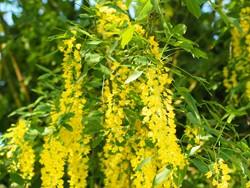 Giftiger Goldregen im Garten potentielle Gefahrenquelle für den Hund.