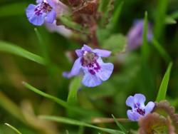 Gundermann kommt in vielen Gärten als wilde Bienenweide vor und wird meist als Unkraut angesehen.