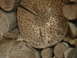 Risse im Holz machen die Nisthilfe für Bienen unattraktiv: Bohren Sie ins Längsholz oder halbieren Sie Stämme und Äste vorbeugend.