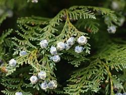 Der Lebensbaum gehört zu den Giftpflanzen, die Hunden gefährlich werden können.