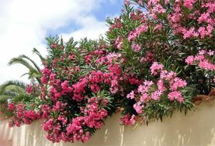Oleander ist unter anderem eine Pflanze, die ideal zum italienischen Stil passt.