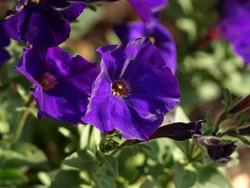 Petunie - eine für Hunde giftige Pflanze.