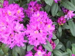 Auch als Alpenrose bekannt, ist der Rhododendron eine im Garten verbreitete Giftpflanze - nicht nur für Hunde.