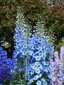 Hohe Blumen und Stauden wie Rittersporn brauchen Schutz bei Sturm - genauso wie viele Sträucher!