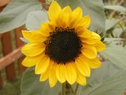 Im September locken z. B. Sonnenblumen Wildbienen an.