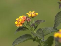 Giftige Pflanzen für Hunde im Garten: Wandelröschen