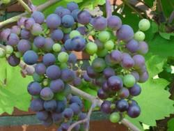 Weintrauben sind giftig für den Hund.