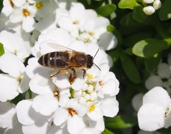 Nützliche Wildbienen sollten in jedem Garten herzlich willkommen sein.