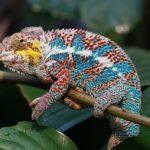 Terrarien mit Reptilien wie dem Pantherchamäleon gibt es in 1% der deutschen Haushalte.